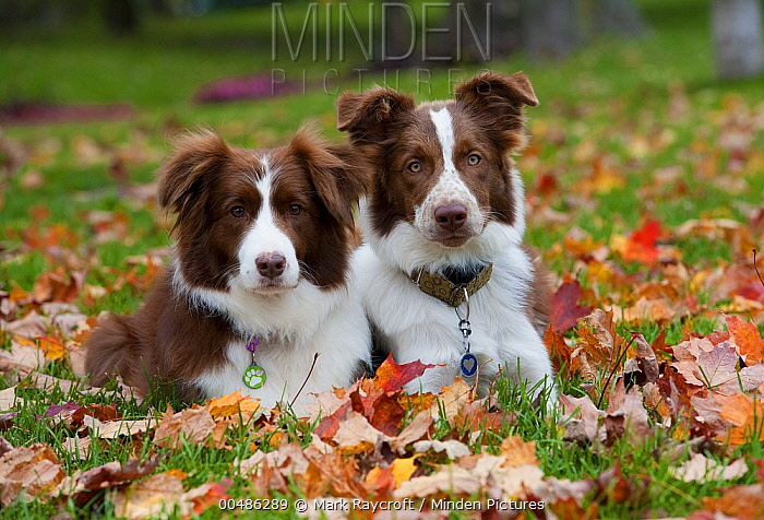 Border Collie (Canis familiaris) pair resting in autumn leaves  -  Mark Raycroft