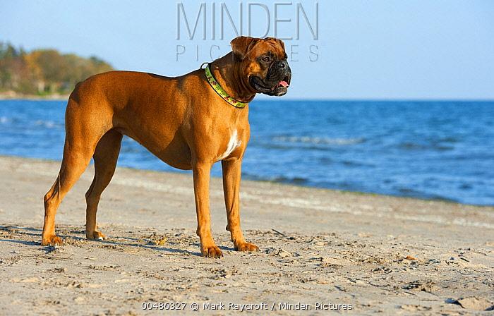 Boxer (Canis familiaris) standing on beach  -  Mark Raycroft