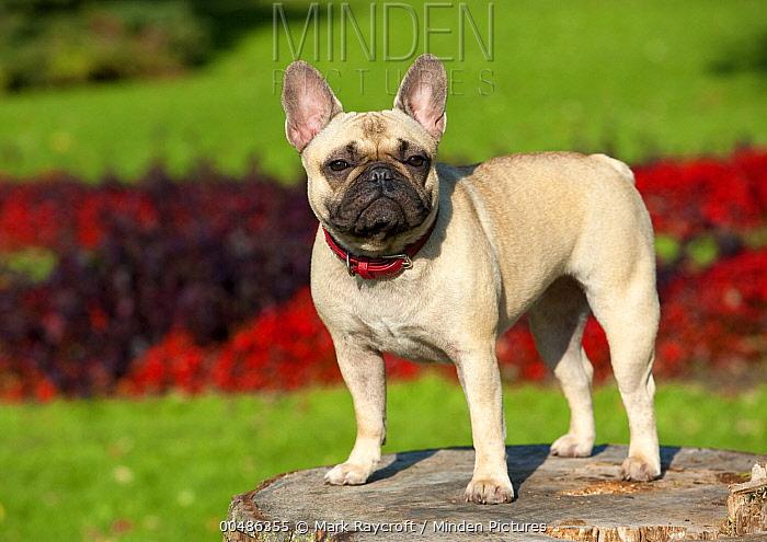 French Bulldog (Canis familiaris)  -  Mark Raycroft