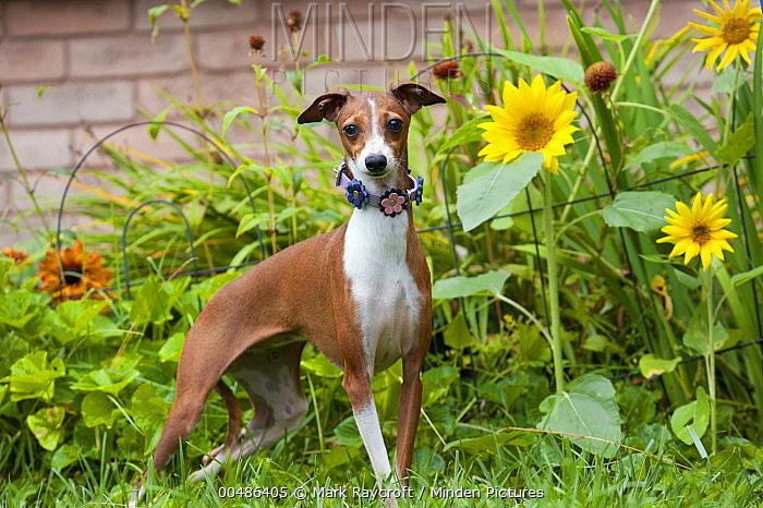 Italian Greyhound (Canis familiaris)  -  Mark Raycroft
