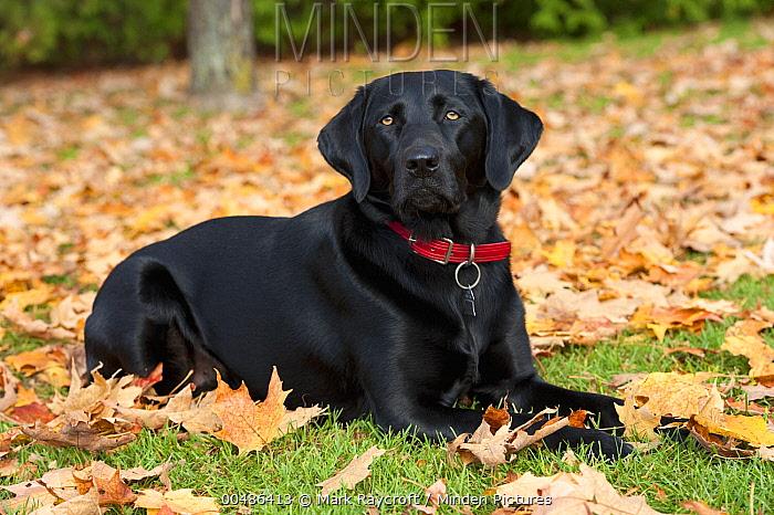 Black Labrador Retriever (Canis familiaris) lying amid autumn leaves  -  Mark Raycroft