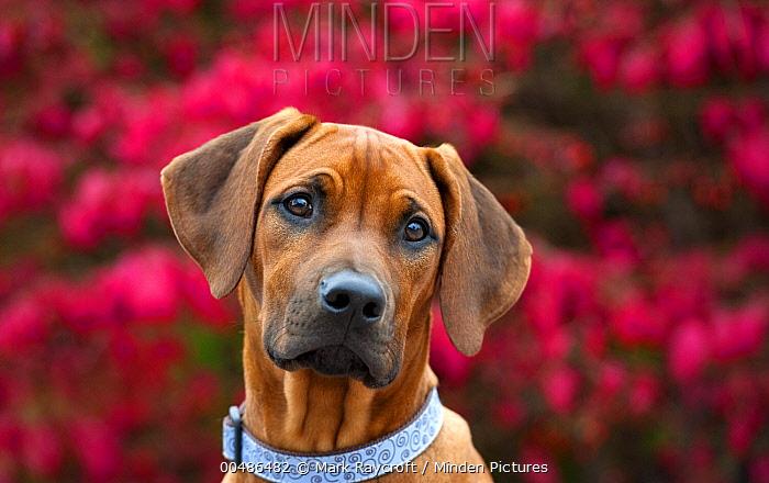Rhodesian Ridgeback (Canis familiaris) puppy  -  Mark Raycroft
