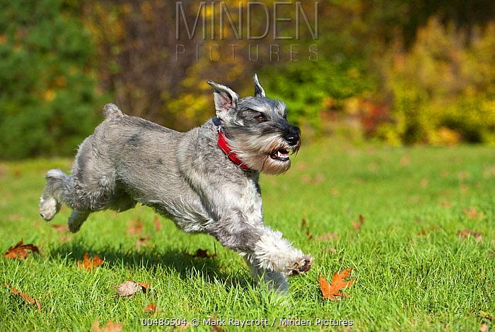 Standard Schnauzer (Canis familiaris) running  -  Mark Raycroft