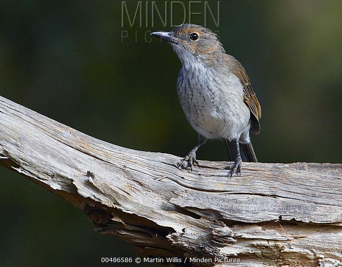 Grey Shrike-thrush (Colluricincla harmonica), Arthur River, Tasmania, Australia  -  Martin Willis