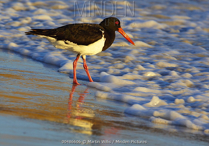 Pied Oystercatcher (Haematopus longirostris) foraging at shoreline, Australia  -  Martin Willis