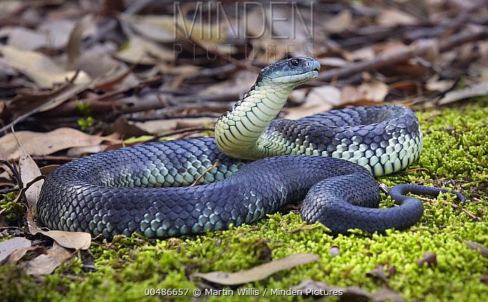 Tiger Snake (Notechis scutatus), Traralgon, Victoria, Australia  -  Martin Willis