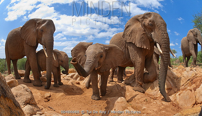 African Elephant (Loxodonta africana) herd, Mpala Research Centre, Kenya  -  Tui De Roy