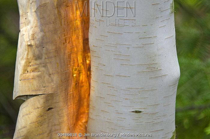Paper Birch (Betula papyrifera) bark peeling, Listening Point, Ely, Minnesota  -  Jim Brandenburg