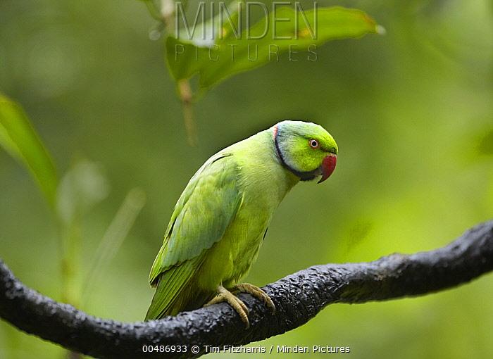 Rose-ringed Parakeet (Psittacula krameri), Jurong Bird Park, Singapore  -  Tim Fitzharris