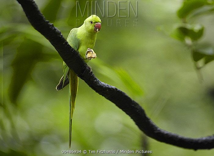 Rose-ringed Parakeet (Psittacula krameri) feeding, Jurong Bird Park, Singapore  -  Tim Fitzharris