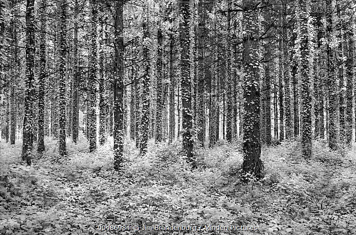 Ivy covered trees in forest, France  -  Jim Brandenburg