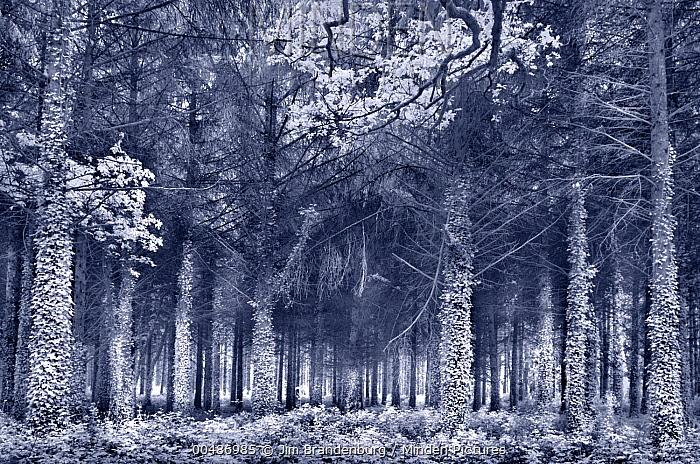 Ivy covered trees in forest, France  -  Jim Brandenburg