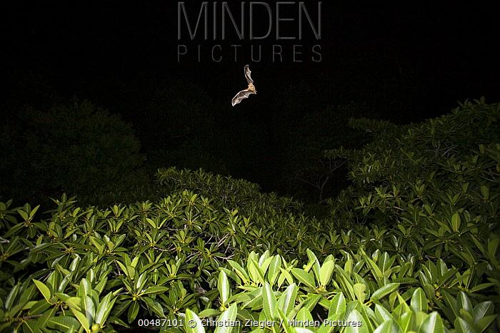Jamaican Fruit-eating Bat (Artibeus jamaicensis) flying over fruiting fig tree to find food, Panama City, Panama  -  Christian Ziegler