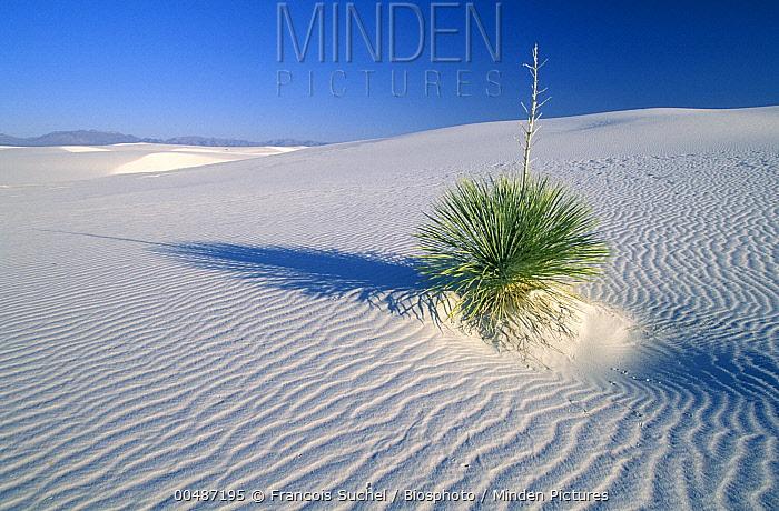 Yucca growing on gypsum sand dune, White Sands National Monument, New Mexico  -  Francois Suchel/ Biosphoto