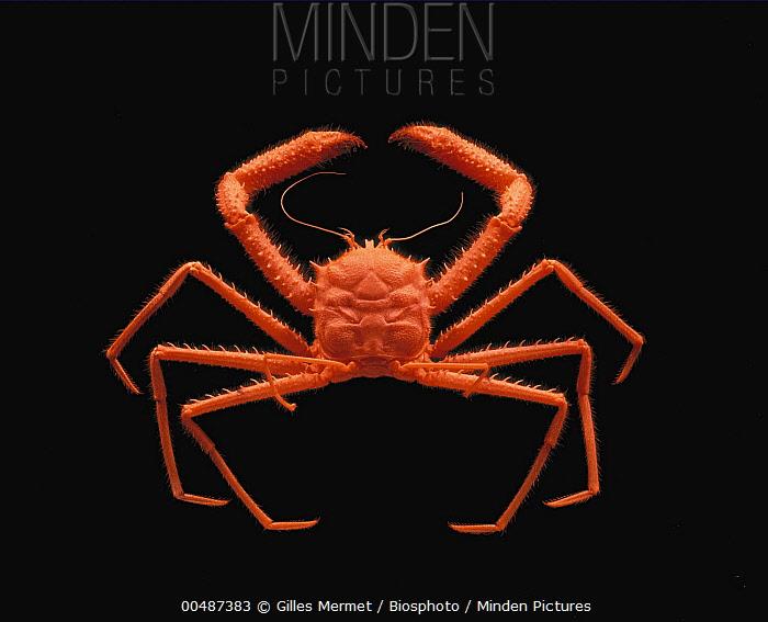 Carrier Crab (Lamoha personata)  -  Gilles Mermet/ Biosphoto