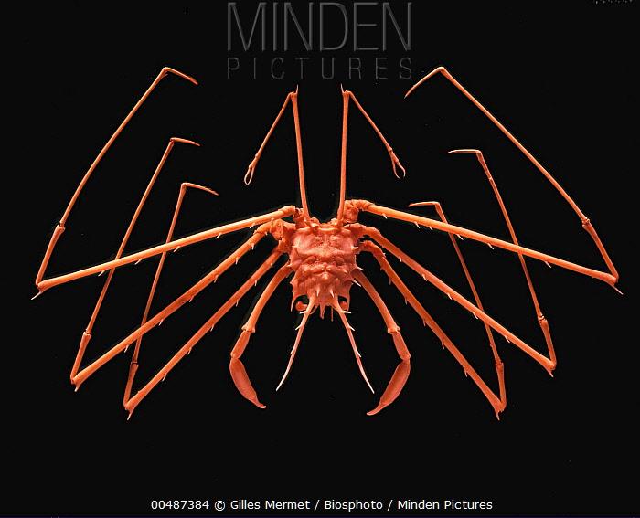 Carrier Crab (Homolochunia kullar)  -  Gilles Mermet/ Biosphoto