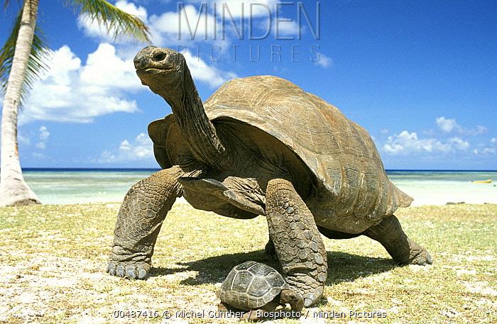 Aldabra Giant Tortoise (Aldabrachelys gigantea) and young, Aldabra, Seychelles  -  Michel Gunther/ Biosphoto