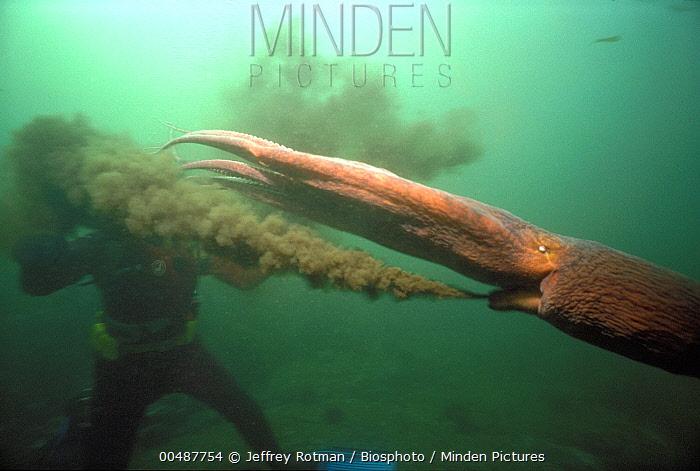 Pacific Giant Octopus (Octopus dofleini) spraying ink, British Columbia, Canada  -  Jeffrey Rotman/ Biosphoto