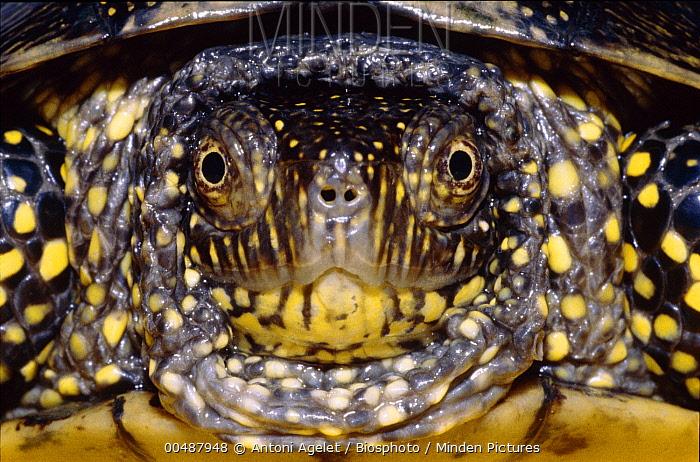 European Pond Turtle (Emys orbicularis) face, Spain  -  Antoni Agelet/ Biosphoto
