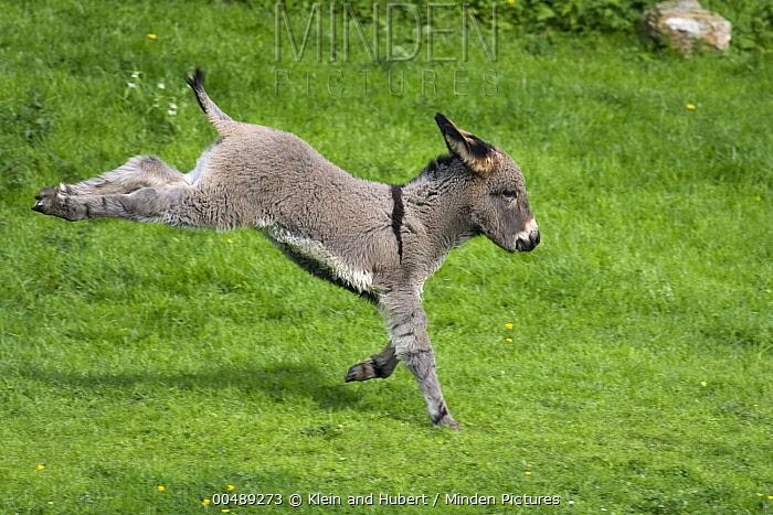 Ane du Cotentin Donkey (Equus asinus) one month old foal kicking while galloping, France  -  Klein and Hubert