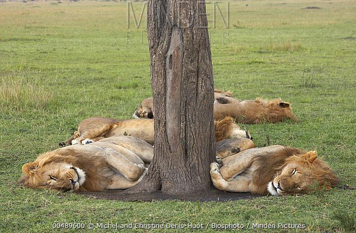 African Lion (Panthera leo) group of males sleeping, Masai Mara, Kenya  -  Michel & Christine Denis-Huot/ B