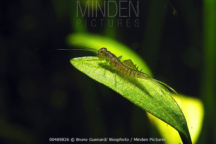Common Burrower Mayfly (Ephemera danica) larva on leaf, Touraine, France  -  Bruno Guenard/ Biosphoto