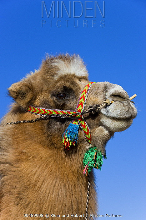Bactrian Camel (Camelus bactrianus) with colorful reins, Altai Mountains, Mongolia  -  Klein and Hubert