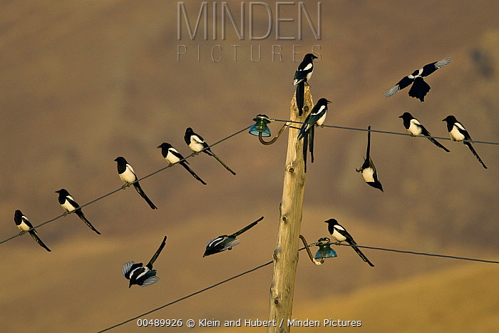 European Magpie (Pica pica) group on wire, Mongolia  -  Klein and Hubert
