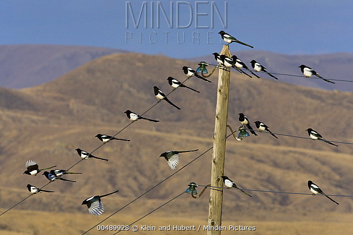 European Magpie (Pica pica) flock perched and flying near utility pole, Mongolia  -  Klein and Hubert
