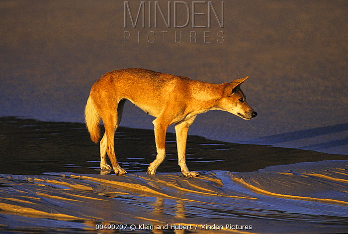 Dingo (Canis lupus dingo) walking on the beach, Australia  -  Klein and Hubert