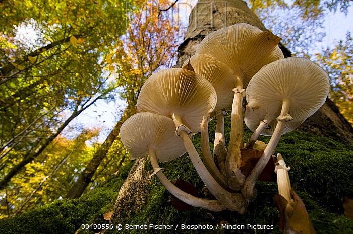 Porcelain Mushroom (Oudemansiella mucida) on the trunk of dead Beech (Fagus sp), Steigerwald Nature Park, Germany  -  Berndt Fischer/ Biosphoto
