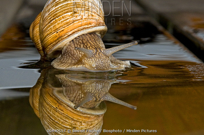 Edible Snail (Helix pomatia) crawling over wood after rain, Germany  -  Berndt Fischer/ Biosphoto