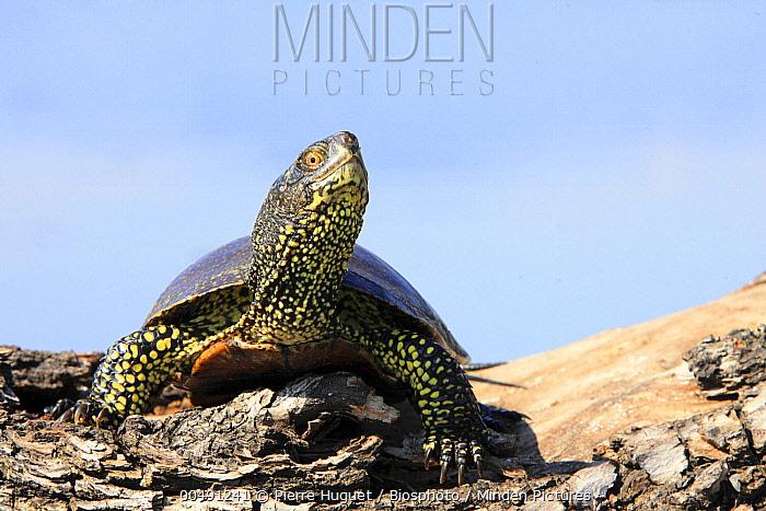 European Pond Turtle (Emys orbicularis), Lake Kerkini, Greece  -  Pierre Huguet/ Biosphoto
