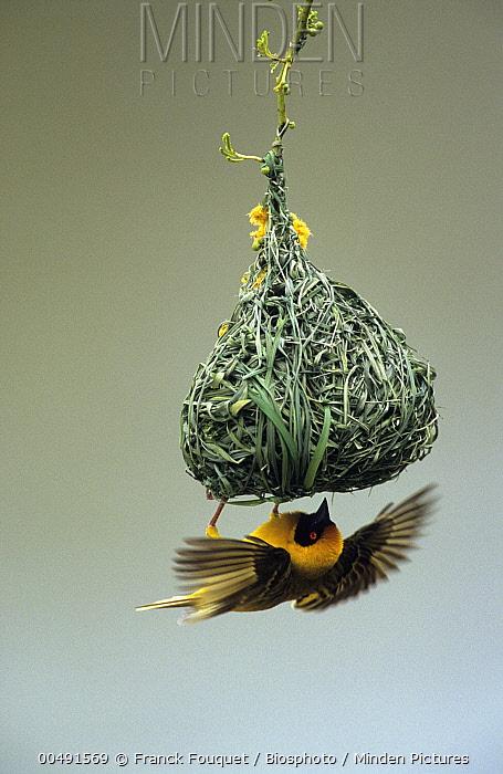 Masked-Weaver (Ploceus velatus) building nest, Pilanesberg National Park, South Africa  -  Franck Fouquet/ Biosphoto
