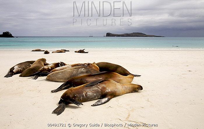 Galapagos Sea Lion (Zalophus wollebaeki) group resting on sandy beach, Gardner Bay, Espanola Island, Galapagos Islands, Ecuador  -  Gregory Guida/ Biosphoto