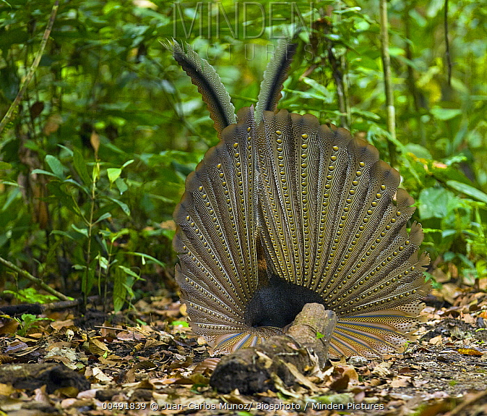 Great Argus Pheasant (Argusianus argus) male displaying, Danum Valley, Borneo, Malaysia  -  Juan-Carlos Munoz/ Biosphoto