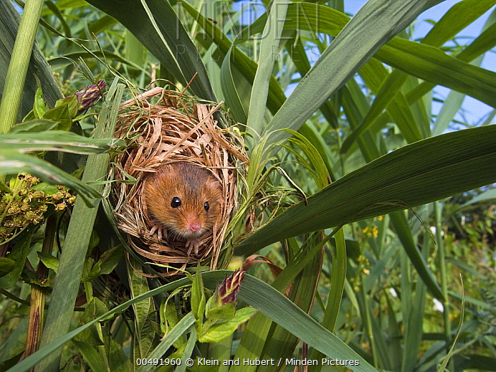 Harvest Mouse (Micromys minutus) in nest in the reeds, France  -  Klein and Hubert