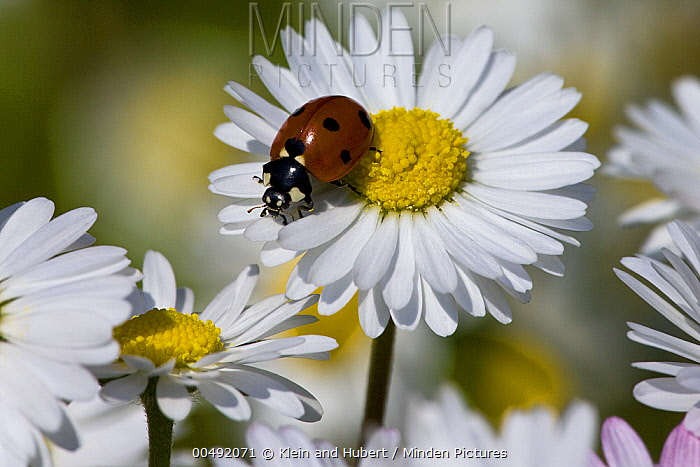 Seven-spotted Ladybird (Coccinella septempunctata) on Common Daisy (Bellis perennis), France  -  Klein and Hubert