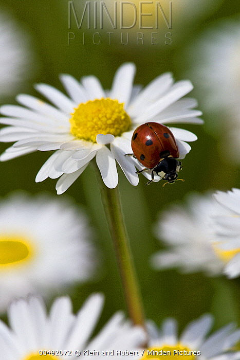 Seven-spotted Ladybird (Coccinella septempunctata) on Common Daisy (Bellis perennis), France  -  Klein and Hubert