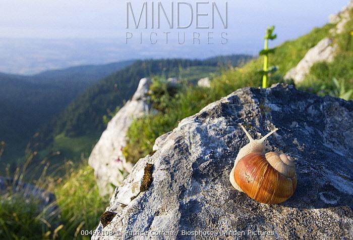 Edible Snail (Helix pomatia) on rock, Jura, France  -  Patrice Correia/ Biosphoto