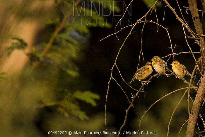 Sudan Golden-Sparrow (Passer luteus) and Vitelline Masked-Weaver (Ploceus vitellinus) pair, Bango, Senegal  -  Alain Fournier/ Biosphoto