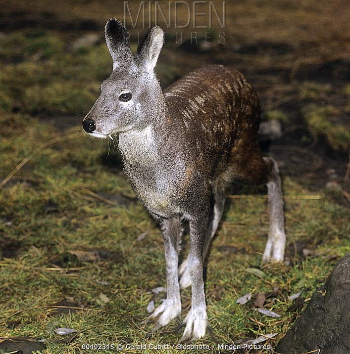 Siberian Musk Deer (Moschus moschiferus), Garhwal Himalaya, India  -  Gerald Cubitt/ Biosphoto