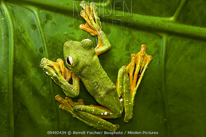 Wallace's Flying Frog (Rhacophorus nigropalmatus), Sabah, Borneo, Malaysia  -  Berndt Fischer/ Biosphoto