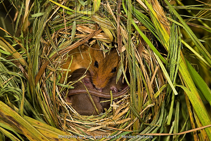 Harvest Mouse (Micromys minutus) female and young at nest in Reed Canarygrass (Phalaris arundinacea), France  -  Klein and Hubert