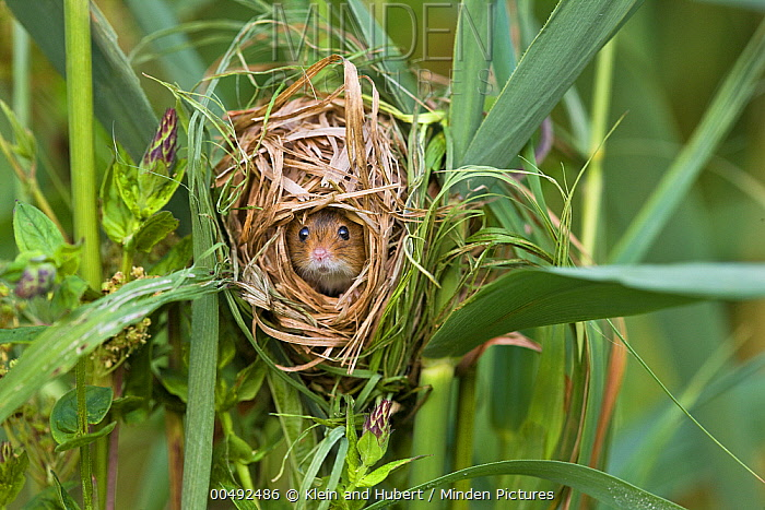 Harvest Mouse (Micromys minutus) nesting in Common Reeds (Phragmites australis), France  -  Klein and Hubert
