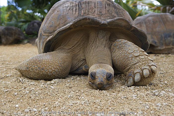 Aldabra Giant Tortoise (Aldabrachelys gigantea), Mauritius  -  Gregory Guida/ Biosphoto
