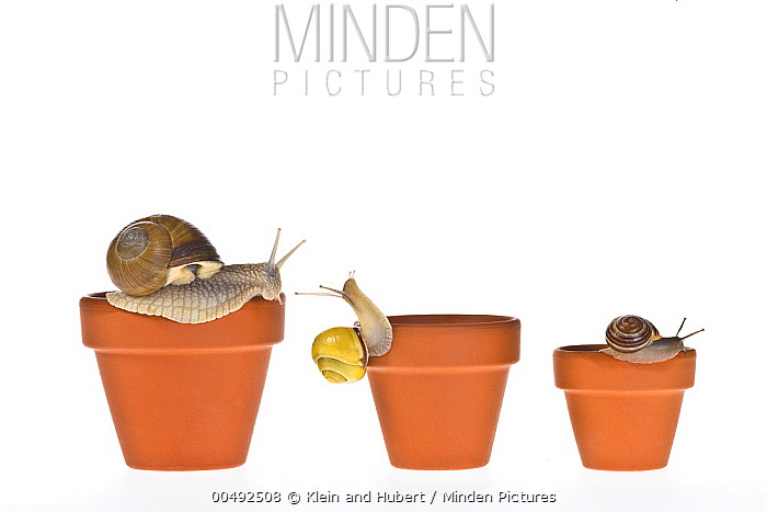 Edible Snail (Helix pomatia) trio on flower pots  -  Klein and Hubert