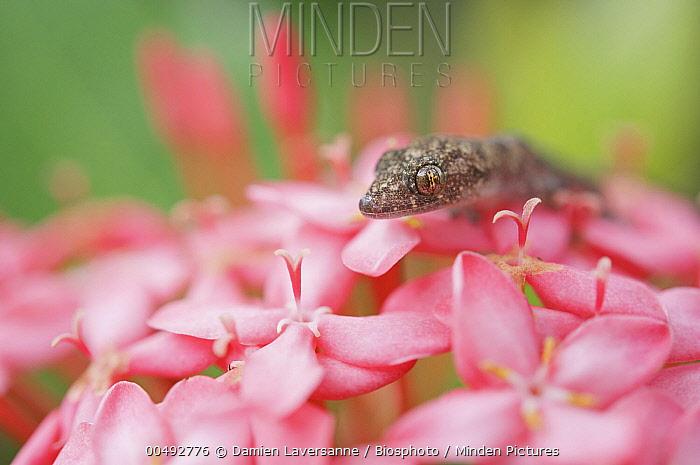 Moreau's Tropical House Gecko (Hemidactylus mabouia), French Guiana  -  Damien Laversanne/ Biosphoto