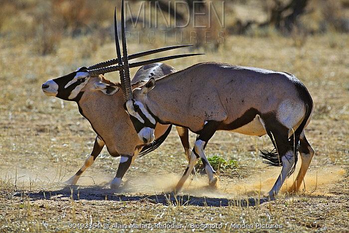 South African Gemsbok (Oryx gazella gazella) pair fighting in desert, Kgalagadi Transfrontier Park, South Africa  -  Alain Mafart-Renodier/ Biosphoto