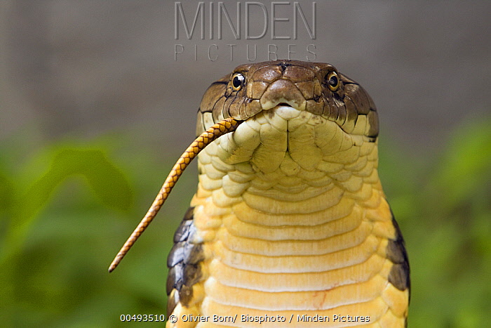Minden Pictures stock photos - King Cobra (Ophiophagus